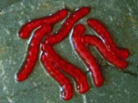 ET Artificial Blood Worm